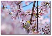 櫻花與綠繡眼:DSC_3565.jpg