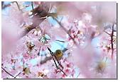 櫻花與綠繡眼:DSC_3571.jpg