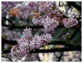 吉野櫻花季:T 259.jpg