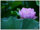 2016植物園荷花季:_1110381.JPG