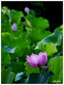 2016植物園荷花季:_1110361.JPG