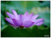 2016植物園荷花季:_1110417.JPG