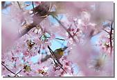 櫻花與綠繡眼:DSC_3572.jpg