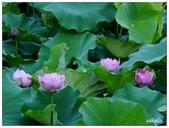 2016植物園荷花季:_1110400.JPG