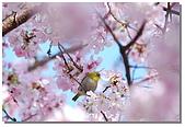 櫻花與綠繡眼:DSC_3576.jpg