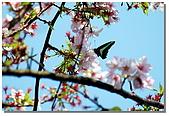 櫻花與綠繡眼:DSC_3682.jpg