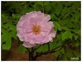 杉林溪牡丹園:_1110230.jpg
