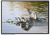 蒼鷺.夜鷺捕魚趣:D 082.jpg