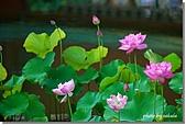植物園荷花池:12