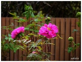 杉林溪牡丹園:_1110193.jpg