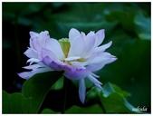 2016植物園荷花季:_1110383.JPG