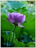 2016植物園荷花季:_1110386.JPG