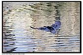 蒼鷺.夜鷺捕魚趣:D 086.jpg