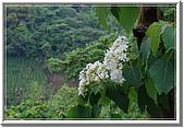 五月雪在八里:油桐花 057.jpg