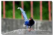 藍鵲寶寶要離巢了:06.jpg