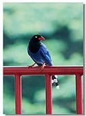 藍鵲寶寶要離巢了:10.jpg