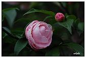 茶花賞:DSC_2839.jpg