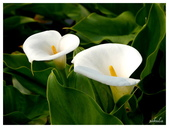 2013 竹仔湖海芋季:P1050687.jpg