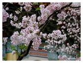 吉野櫻花季:T 150.jpg