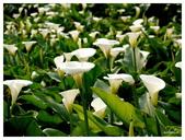 2013 竹仔湖海芋季:P1050692.jpg