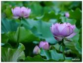 2016植物園荷花季:_1110413.JPG