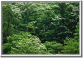 五月雪在八里:油桐花 064.jpg