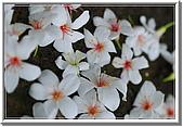 五月雪在八里:油桐花 109.jpg