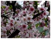 吉野櫻花季:T 046.jpg
