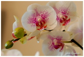 花卉來迎春:DSC_1085.jpg