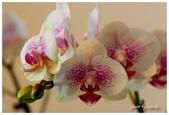 花卉來迎春:DSC_1086.jpg