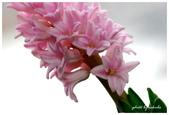 花卉來迎春:DSC_1115.jpg