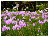 2013 竹仔湖海芋季:P1050703.jpg