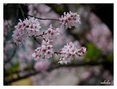 吉野櫻花季:T 162.jpg