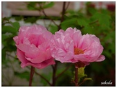 杉林溪牡丹園:_1110182.jpg