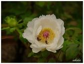杉林溪牡丹園:_1110183.jpg