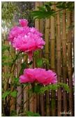 杉林溪牡丹園:_1110202.jpg