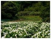 2013 竹仔湖海芋季:P1050707.jpg