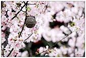 櫻花與綠繡眼:DSC_3204.jpg