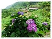 陽明山繡球花季: