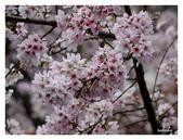 吉野櫻花季:T 173.jpg