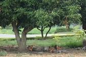 2012來去金門:中蘭的龍眼樹和雞.JPG