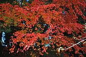 20081215-1216福壽山農場:楓樹.jpg