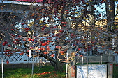 20081215-1216福壽山農場:蘋果王.jpg