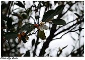 20081229南庄:向天湖-這...應該是茶花.jpg