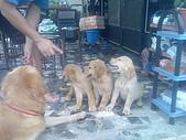 黃金小犬:排排坐好