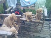 黃金小犬:.