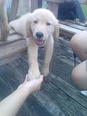 黃金小犬:別看他小小一隻