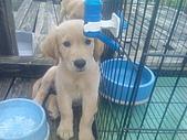 黃金小犬:妹妹