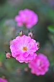微距之花卉世界:DSC_5698.JPG