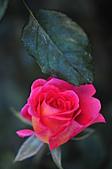 微距之花卉世界:DSC_5704.JPG